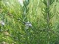 Rosmarinus officinalis Blue Boy 1zz.jpg