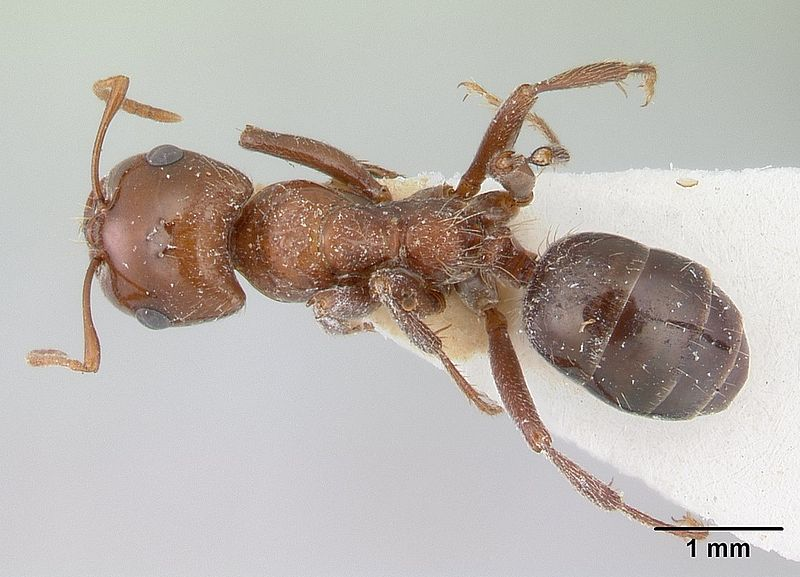 File:Rossomyrmex proformicarum casent0178514 dorsal 1.jpg