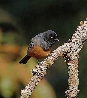 Description de l'image Rufous-bellied Tit, Sakania, DRC (14766509703).jpg.