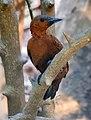 Rufous Woodpecker Micropternus brachyurus by Dr. Raju Kasambe DSCN0722 (3).jpg