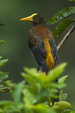 Russet-backed Oropendula - Colombia S4E4256 (23781027782).jpg