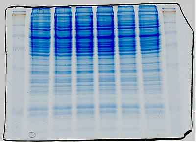 SDS-PAGE Coomasie stained.jpg