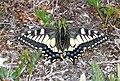 SWALLOWTAIL, OLD WORLD (Papilio machaon aliaska) (6-25-2016) denali highway, mile p13 pass, near paxson, alaska (8) (28969488162).jpg