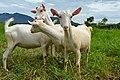 Saanen goats Alaminos, Laguna.jpg