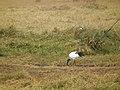Sacred ibis in Tanzania 4181 Nevit.jpg