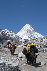 Sagarmatha National Park Yaks and Pumori.jpg