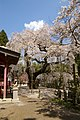Sakura ogawasuwa-jinja - panoramio.jpg