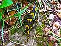 Salamandra in valboreca - panoramio.jpg