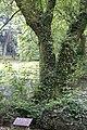 Salix rosthornii, Hangzhou Botanical Garden 2018.06.03 15-37-07.jpg