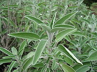 Salvia officinalis 01 by Line1.JPG