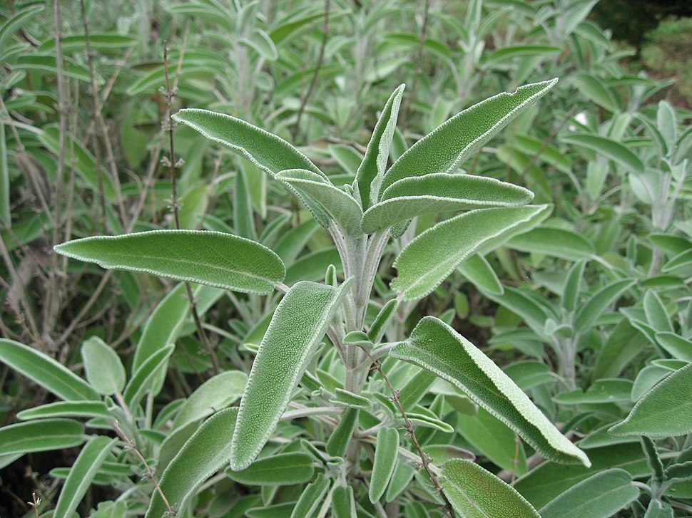 Salvia officinalis 01 by Line1