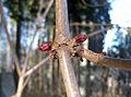 Sambucus nigra buds2.jpg
