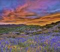 San Carlos wildflowers, 2010.jpg