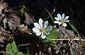 Sanguinaire du Canada (Sanguinaria canadensis).jpg