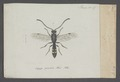 Sapyga - Print - Iconographia Zoologica - Special Collections University of Amsterdam - UBAINV0274 043 05 0036.tif