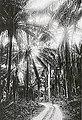 Sassandra. Forêt naturelle de palmiers à huile. La forêt est traversée par la voie Decauville d'une usine proche.jpg