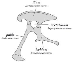 Saurischia pelvis ru.PNG