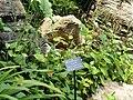 Saururus chinensis - Kunming Botanical Garden - DSC03019.JPG
