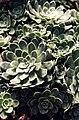 Saxifraga paniculata 'Red dottet'.jpg