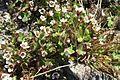 Saxifraga rivularis plant upernavik 2007-07-09 cropped filtered.jpg