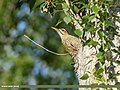Scaly-bellied Woodpecker (Picus squamatus) (48088886001).jpg
