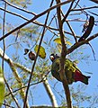 Scaly-headed Parrot (Pionus maximiliani) (30969331733).jpg