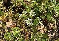 Scandix pecten-veneris (Bemmel, Netherlands).jpg