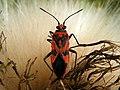 Scentless Plant Bug (Corizus hyoscyami) (9655194344).jpg