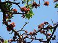 Schotia brachypetala, lente, b, Pretoria.jpg