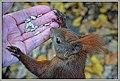 Sciurus vulgaris (44870013135).jpg