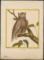 Scops zorca - 1700-1880 - Print - Iconographia Zoologica - Special Collections University of Amsterdam - UBA01 IZ18400121.tif