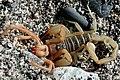 Scorpion eating solifugid (Marshal Hedin).jpg