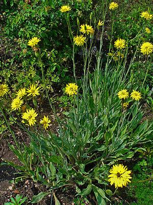 Garten-Schwarzwurzel (Scorzonera hispanica)