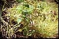 Scutellaria galericulata 1-eheep (5097984730).jpg