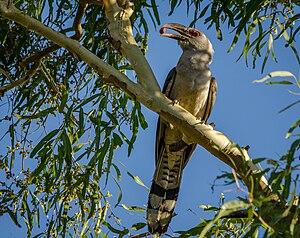 Channel-billed cuckoo - Image: Scythrops novaehollandiae Townsville