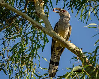 Channel-billed cuckoo - Image: Scythrops novaehollandiae Townsville