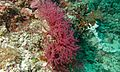 Sea Fan (Acabaria sp.) (6096958226).jpg