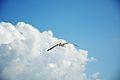 Seagull (9521512461).jpg