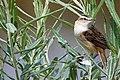Sedge Warbler - Rutland Water (34784710472).jpg