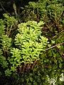 Sedum album subsp micranthum.jpg