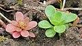 Sedum cepaea plant (11).jpg