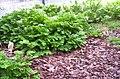 Selaginella sp., Mt Coot-tha Botanic Gardens, Toowong 100 9730.jpg