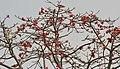 Semal (Bombax ceiba) flowering canopy in Kolkata W IMG 4107.jpg