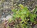 Senecio vulgaris 107810531.jpg