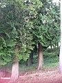 Sequoie2.jpg