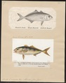 Seriola dumerilii - 1700-1880 - Print - Iconographia Zoologica - Special Collections University of Amsterdam - UBA01 IZ13500437.tif