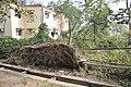 Shallow Roots Caused Easy Tree Toppling - Santragachi Jheel Area - Howrah 2017-12-25 5684.JPG