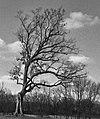 Shawshank tree, Lucas, Ohio - cropped.jpg