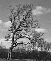A black and white photo of a bare tree standing in a field. The tree leans to the right of the image.