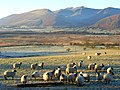 Sheep, Murrah - geograph.org.uk - 639852.jpg
